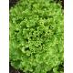 Salade Frisée verte