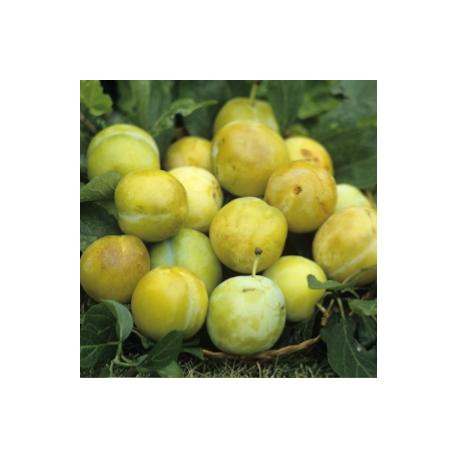 Prune reine Claude dorée 500 g
