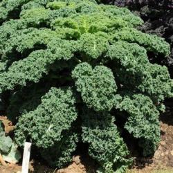 Chou Kale 250g